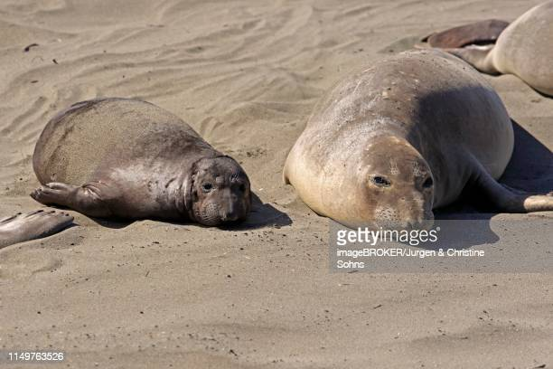 northern elephant seals (mirounga angustirostris), dam yawning with young resting in the sand, piedras blancas rookery, san simeon, san luis obispo county, california, usa - rookery stock pictures, royalty-free photos & images