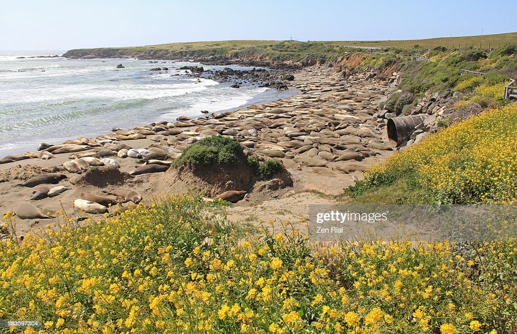 Northern Elephant Seals (Mirounga angustirostris) in San Simeon State Park, California : Stock Photo