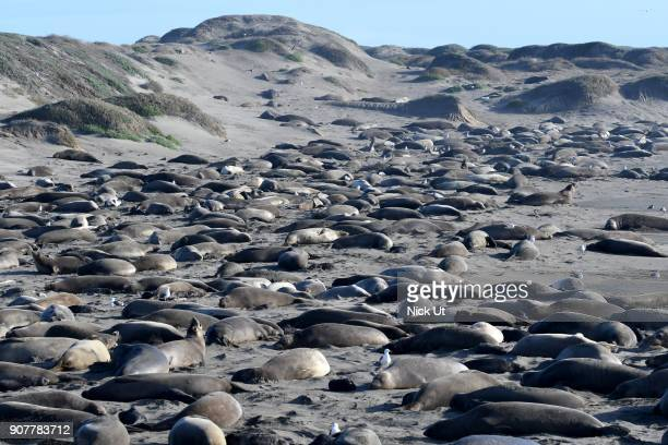Northern elephant seals lay on the beach at the Piedras Blancas Elephant Seal Rookery January 12 2018 in San Simeon California