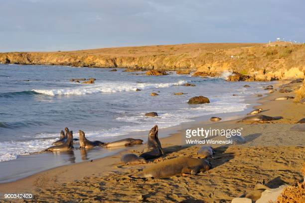 Northern Elephant Seals (Mirounga angustirostris), on the beach of San Simeon, Piedras Blancas Colony, California, USA