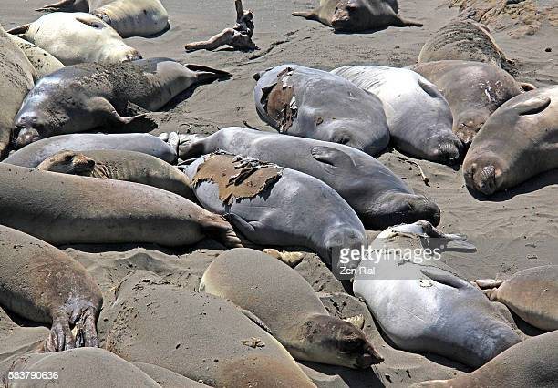 Northern elephant seals (Mirounga angustirostris) sunbathing in San Simeon State Park in California
