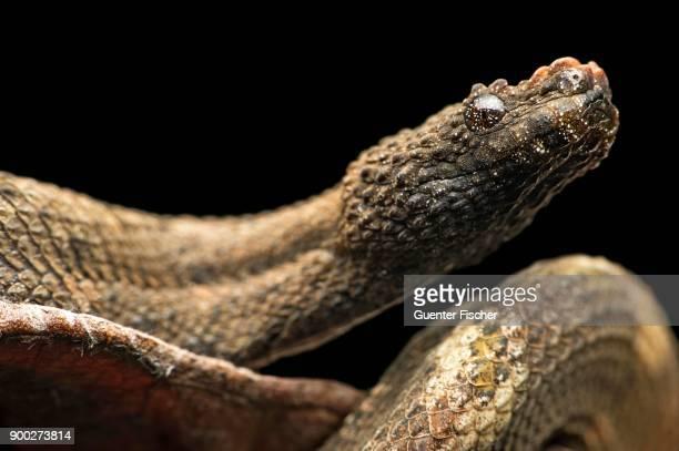 Northern eyelash boa (Trachyboa boulengeri), Amazon rainforest, Canande River Nature Reserve, Choco forest, Ecuador