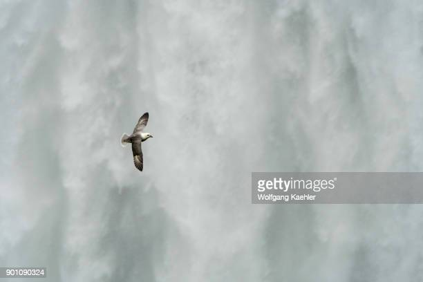 Northern fulmar flying in front of the Skogafoss is one of the biggest waterfalls in southern Iceland with a width of 15 meters and a drop of 60 m