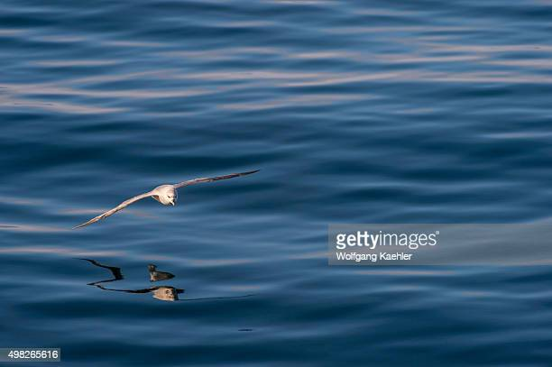 Northern fulmar or Arctic fulmar flying over the water near Bellsund which is a 20 km long sound on the west coast of Spitsbergen part of the...