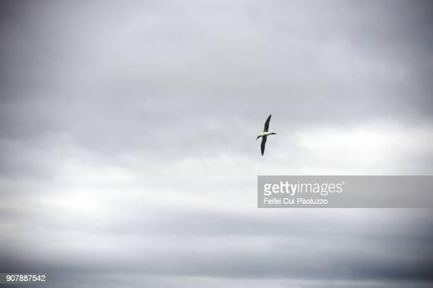 A Northern gannet and atlantic ocean