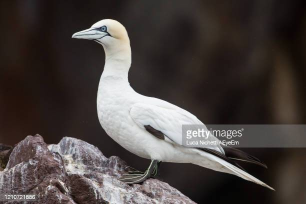 northern gannet, bass rock colony, scotland - zeevogel stockfoto's en -beelden