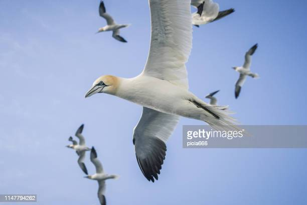 northern gannet bird: feeding frenzy gedrag - northern gannet stockfoto's en -beelden