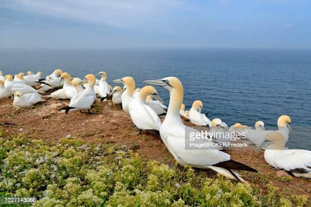 northern gannet (morus bassanus), breeding colony, helgoland, north sea, schleswig-holstein, germany - northern gannet stockfoto's en -beelden