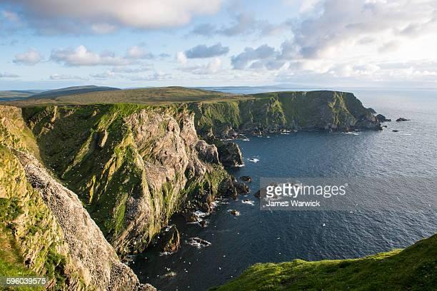 northern gannet breeding colony on cliffs - northern gannet stockfoto's en -beelden