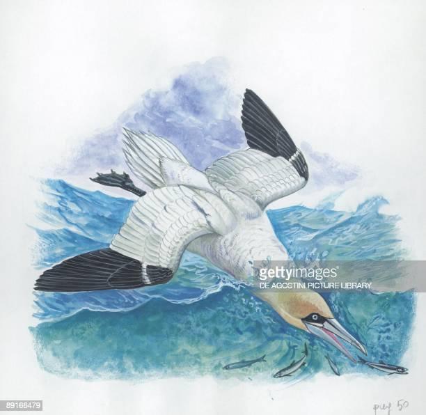Northern Gannet catching fishes underwater illustration
