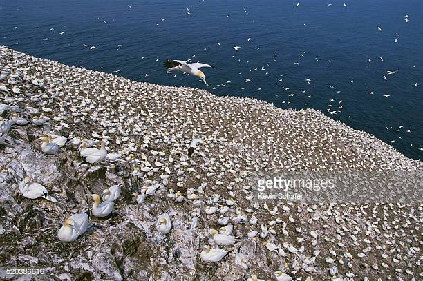 northern gannet colony at bass rock - gannet stock pictures, royalty-free photos & images