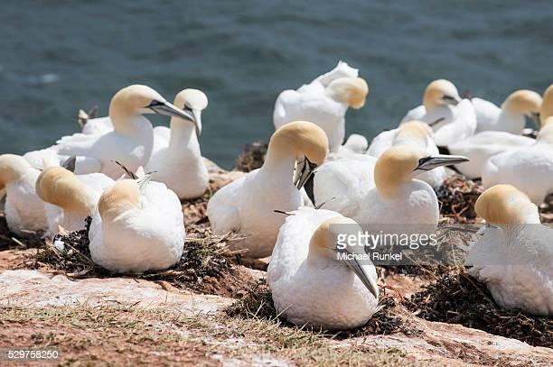 Northern gannet (Morus bassanus) colony, Heligoland, small German archipelago in the North Sea, Germany, Europe