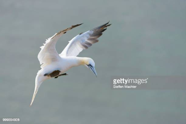 northern gannet (morus bassanus) during the landing, heligoland, schleswig-holstein, germany - schleswig holstein stock pictures, royalty-free photos & images