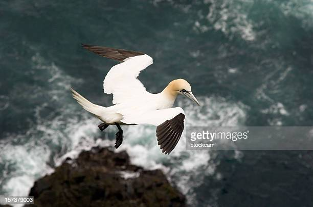 northern gannet faroe islands - gannet stock pictures, royalty-free photos & images
