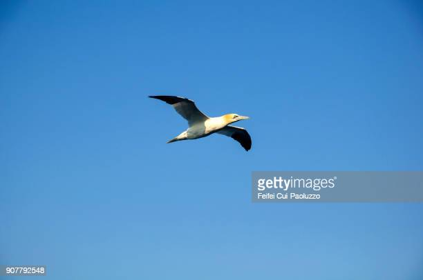 A Northern gannet flying in the clear sky
