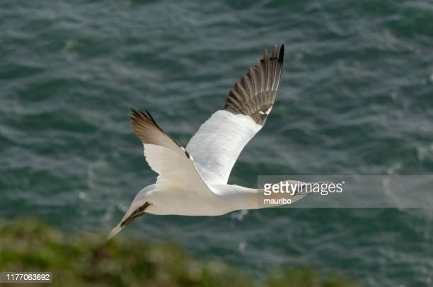 northern gannet flying (morus bassanus) - northern gannet stock pictures, royalty-free photos & images