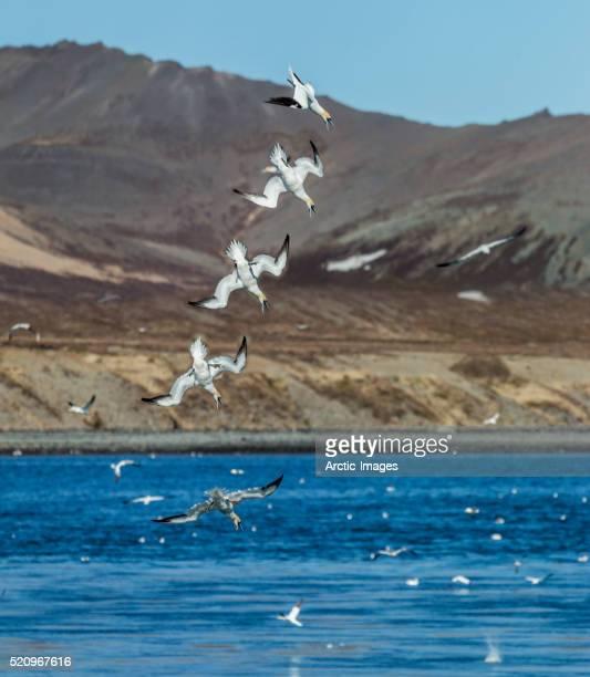 northern gannet (morus bassanus), iceland - jan van gent stockfoto's en -beelden
