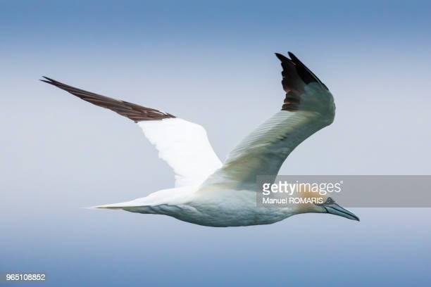 northern gannet, iceland - northern gannet stockfoto's en -beelden