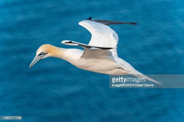 northern gannet (morus bassanus) in flight over the sea, helgoland, north sea, germany - northern gannet stockfoto's en -beelden