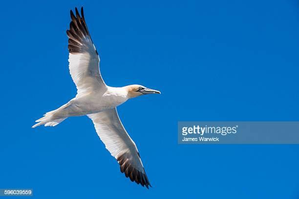 northern gannet in flight - northern gannet stockfoto's en -beelden