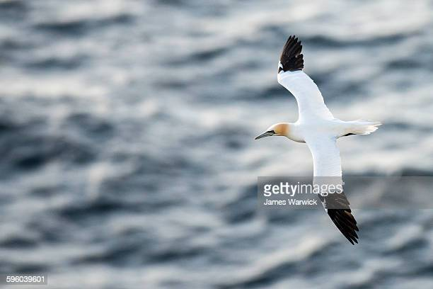 northern gannet in flight - gannet stock pictures, royalty-free photos & images