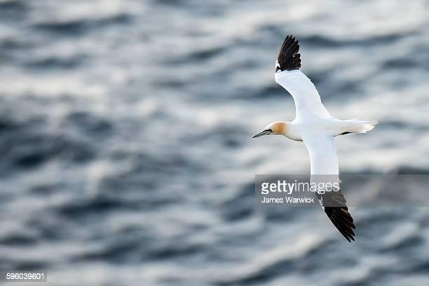 northern gannet in flight - jan van gent stockfoto's en -beelden