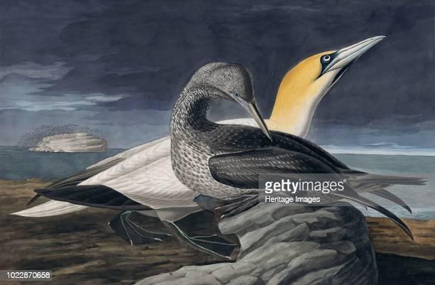 Northern Gannet, Morus Bassanus. From The Birds of America by John J. Audubon. Pub. 1827-1838 .