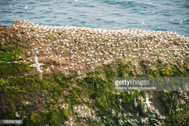 northern gannet, mykines island, faroe islands - jan van gent stockfoto's en -beelden