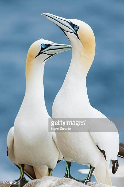 northern gannet pair courting - gannet stock pictures, royalty-free photos & images