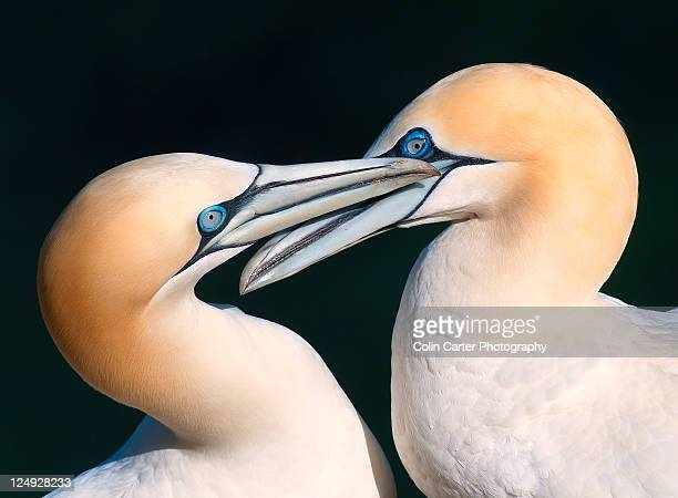 northern gannet pair - gannet stock photos and pictures