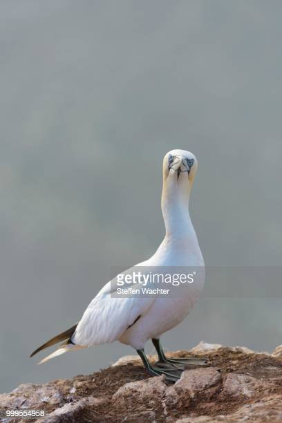 northern gannet (morus bassanus) perched on a rock, heligoland, schleswig-holstein, germany - schleswig holstein stock pictures, royalty-free photos & images