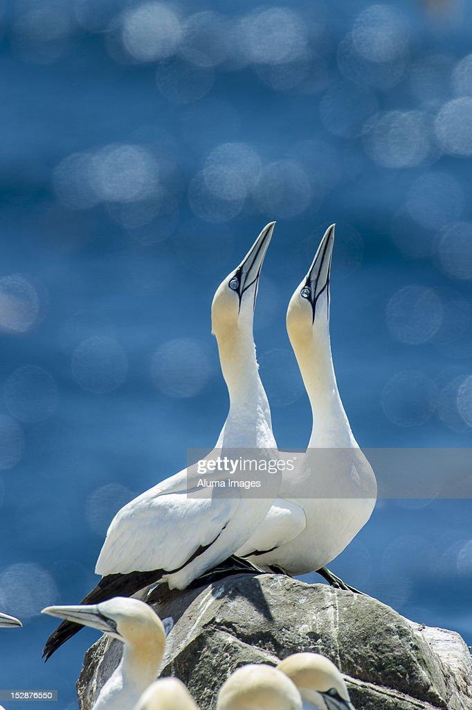 Northern Gannet (Morus bassanus) : Stock Photo