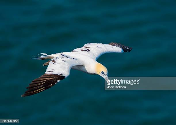 northern gannet - gannet stock photos and pictures