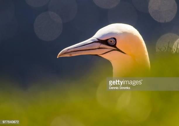 northern gannet - northern gannet stockfoto's en -beelden