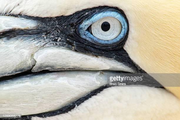 northern gannet (morus bassanus) portrait. - bird stock pictures, royalty-free photos & images
