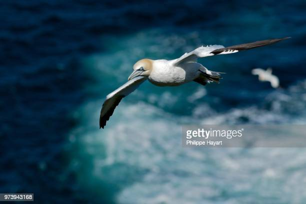 northern gannet - scotland - gannet stock photos and pictures