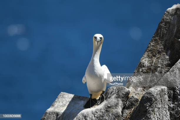 A northern gannet seen during a breeding season on The Great Saltee Island The Saltee Islands situated around 5km off the southeastern coast of...