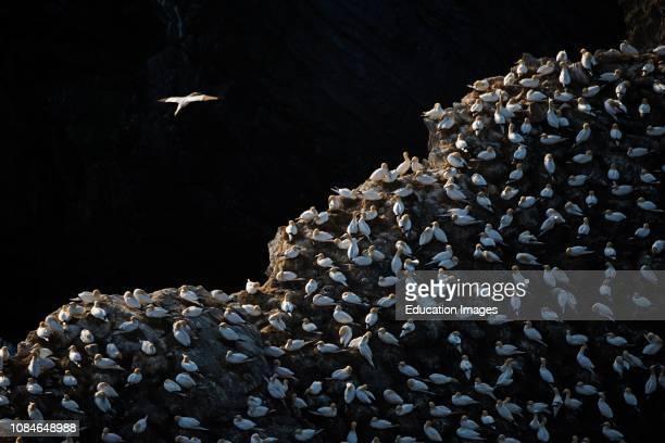Northern Gannet, Sula Bassano, colony Hermaness Unst, Shetland, Scotland.