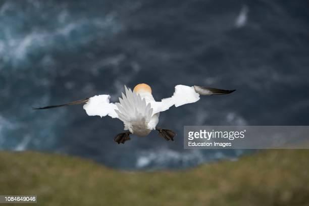 Northern Gannet Sula Bassano hanging in the wind Hermaness Unst Shetland