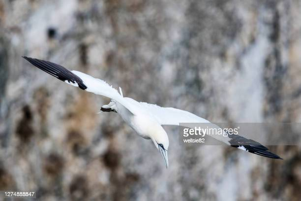 northern gannet swooping - diving to the ground stock pictures, royalty-free photos & images