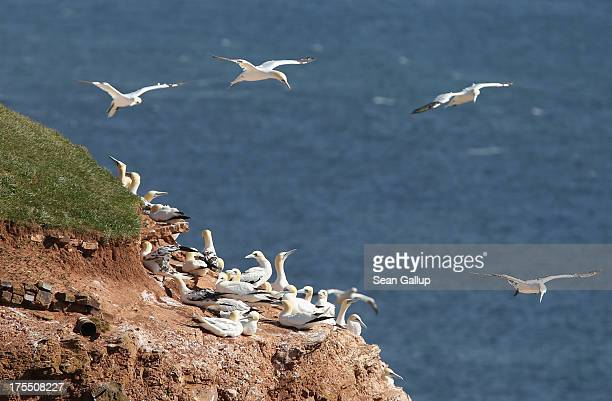 Northern gannets congregate on the Lummen cliffs where thousands of the birds have made their home on August 3 2013 on Helgoland Island Germany The...