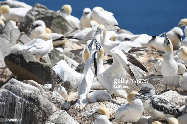 Northern gannets 'fencing' a mutual greeting gestur seen during a breeding season on The Great Saltee Island The Saltee Islands situated around 5km...