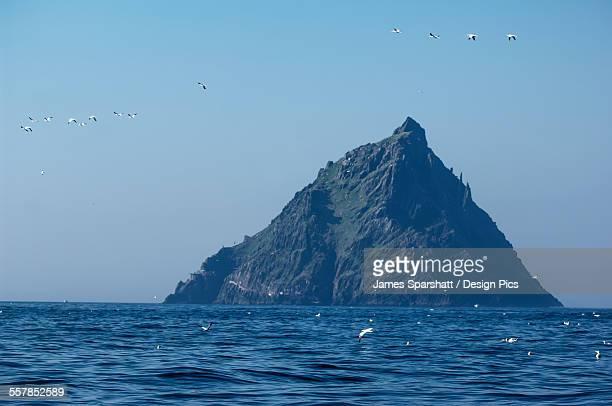 Northern gannets (morus bassanus) flying in front of skellig michael, the skellig islands