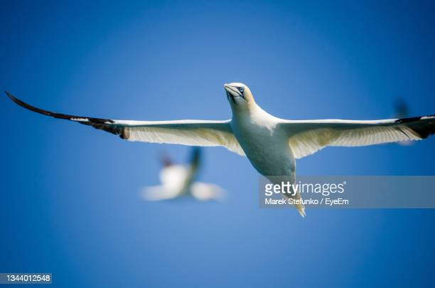 northern gannets flying near pembrokeshire coast - marek stefunko stock pictures, royalty-free photos & images
