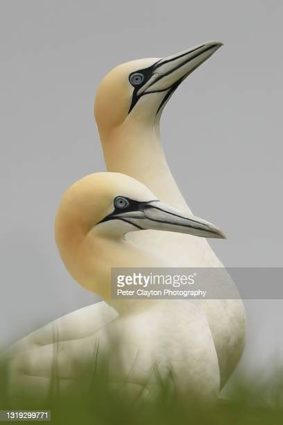 northern gannets in love - alternative pose stock pictures, royalty-free photos & images
