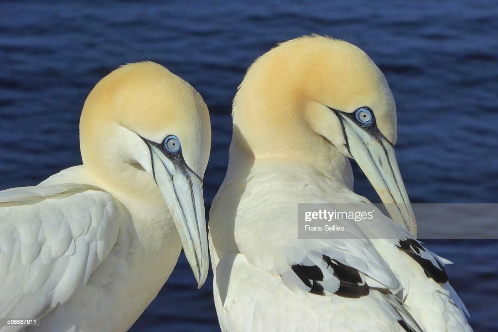 Northern gannets on Helgoland, Germany : Stock Photo