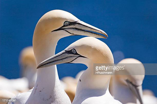northern gannets - gannet stock photos and pictures