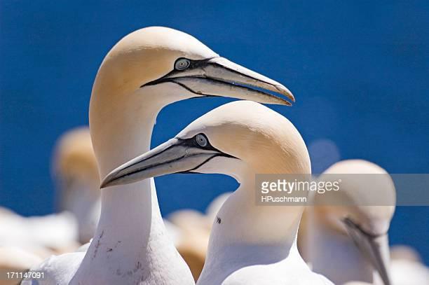 northern gannets - northern gannet stockfoto's en -beelden