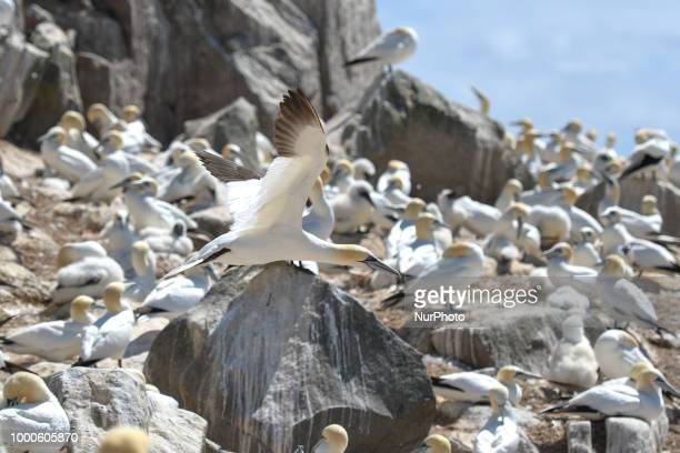 Northern gannets seen during a breeding season on The Great Saltee Island The Saltee Islands situated around 5km off the southeastern coast of...