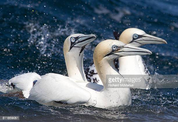 northern gannets swimming. - gannet stock pictures, royalty-free photos & images